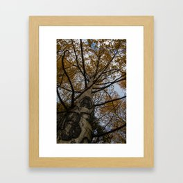 Colorado Aspen Framed Art Print