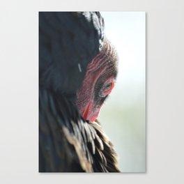 Turkey Vulture Preening Canvas Print