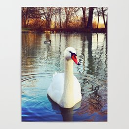 Swan in the Park Poster