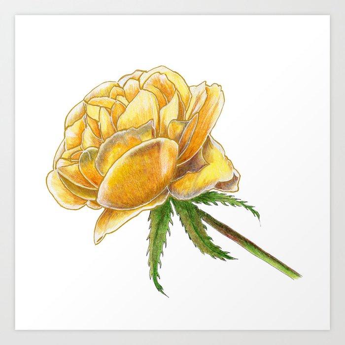 Yellow Rose on white Art Print