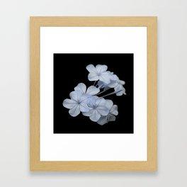 Pale Blue Plumbago Isolated on Black Background Framed Art Print
