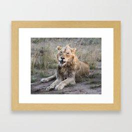 Male African Lion Framed Art Print