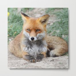 Fox_20141201_by_JAMFoto Metal Print