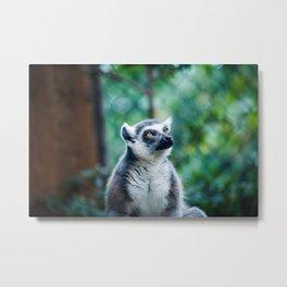 Lethargic Lemur Metal Print