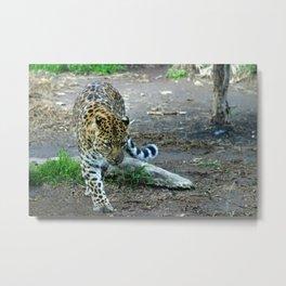 Amur Leopard Metal Print