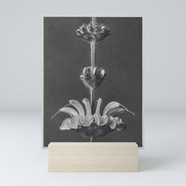 Salvia argentea (silver sage) enlarged 4 times from Urformen der Kunst (1928) by Karl Blossfeldt. Mini Art Print