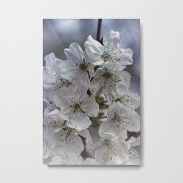 white flowers on the branches in spring Metal Print