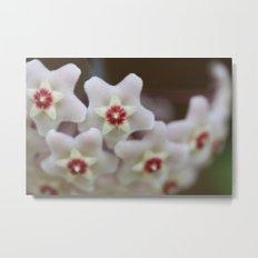 Hoya Flowers Metal Print