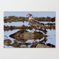 Immature Bald Eagle on the Beach Canvas Print