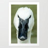Trumpeter Swan - 1 Art Print