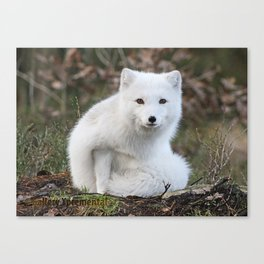 Polar Fox by Anne Elisabeth Canvas Print