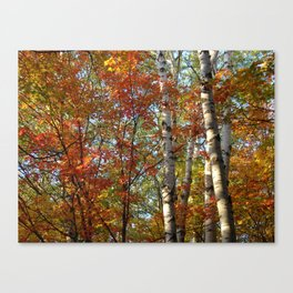 Birch Fall Colors Canvas Print