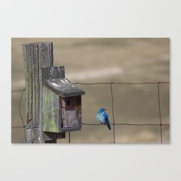 Fluffy Mountain Bluebird Canvas Print