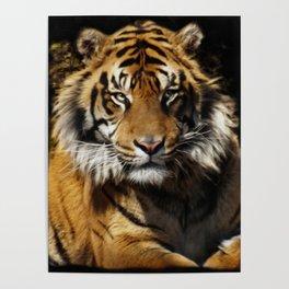 Tiger, Tiger - Big Cat Art Design Poster