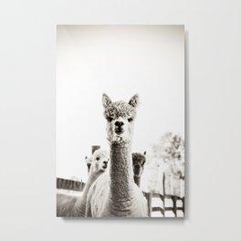 Tio Farm Alpaca 2 Metal Print