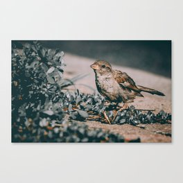 Summer Sparrow. Bird Photograph Canvas Print