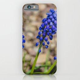 Grape Hyacinth 1 iPhone Case