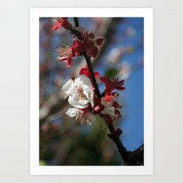 Sunlight Embracing Apricot Blossom Art Print