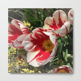 Candy Cane Tulips Metal Print