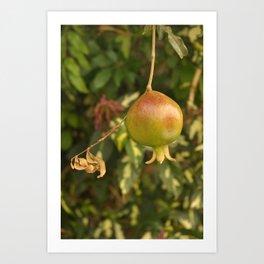 Growing Pomegranate on the tree Art Print