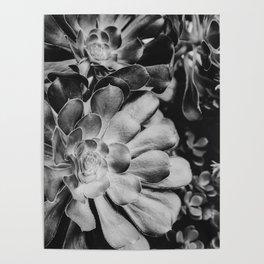 Aeonium in Monochrome  |  Succulents Poster