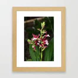 Nun's Orchid Framed Art Print
