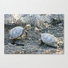 Baby giant tortoises acting tough Canvas Print