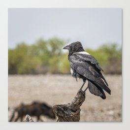 Pied Crow Canvas Print