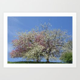 Pink and White Blossom - Blue Sky Art Print