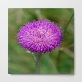 Nodding Thistle Close-Up Metal Print