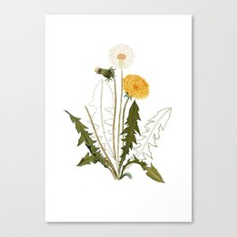 Dandelion drawing vintage wild flower Canvas Print