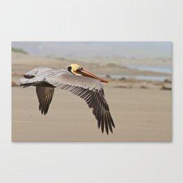 Brown Pelican  Canvas Print