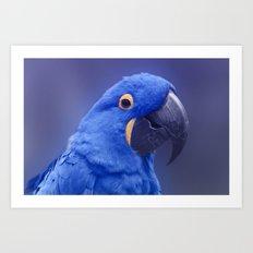 Blue Hyacinth Macaw - Anodorhynchus hyacinthinus - Puohokamoa Hoolawa Maui Hawaii Art Print