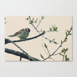 Sparrow Chipping Canvas Print