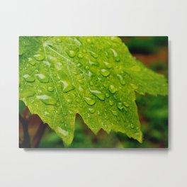 Grapevine leaf Metal Print