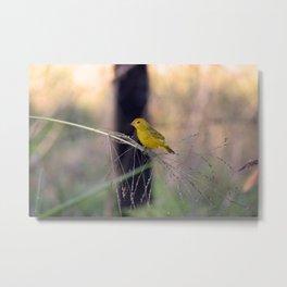 Stripe-tailed yellow finch Metal Print