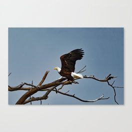 Bald Eagle Lift Off Canvas Print