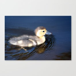 Cute Duckling Swimming in a Pond Canvas Print
