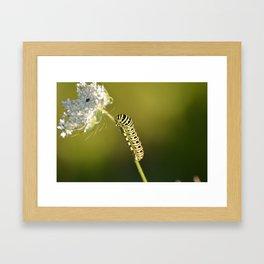Catapillar on Queen Anns Lace - An Art Print Framed Art Print