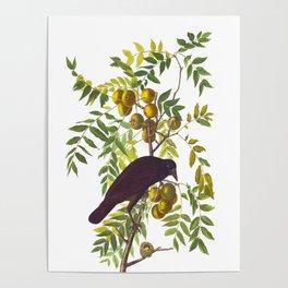 American Crow Hand Drawn Illustrations Vintage Scientific Art John James Audubon Birds Poster