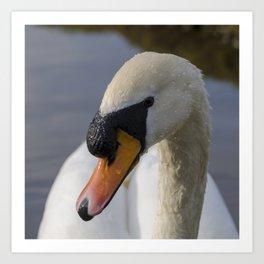 Mute swan cob Art Print