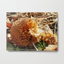 Fruit of Sycamore tree Metal Print