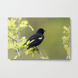 Perched Red-Winged Blackbird Metal Print