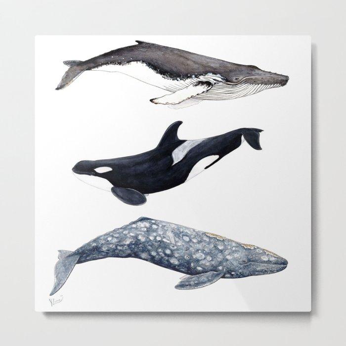Orca, humpback and grey whales Metal Print