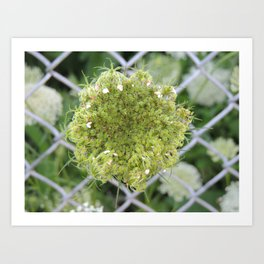 Queen Anne in bloom Art Print