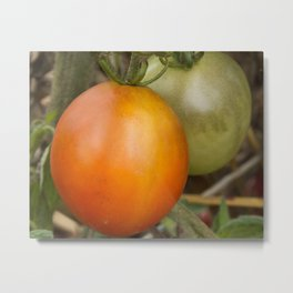Close up of Cherry tomatoes ripening on the vine Metal Print
