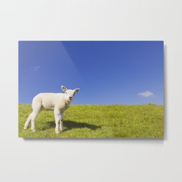 Texel lamb on the island of Texel, The Netherlands Metal Print