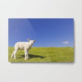 Texel lamb on the island of Texel, The Netherlands Metal Print