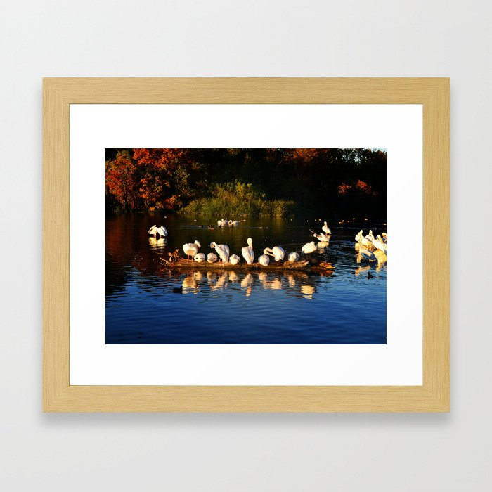 Pelicans at White Rock Lake in Dallas Framed Art Print