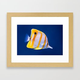 Copperband butterfly fish Framed Art Print